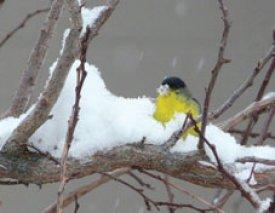 C-347 SNOW BIRD